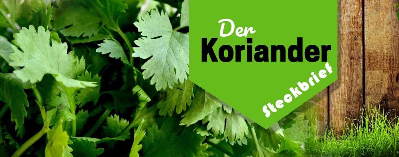 【ᐅ】Komplette KORIANDER Pflegeanleitung ✿ Koriander selberziehen #kräutergartenbalkon
