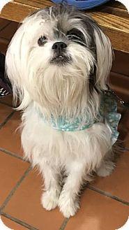 Chicago Il Shih Tzu Mix Meet Luna Lulu A Puppy For Adoption Shih Tzu Puppy Adoption Pets