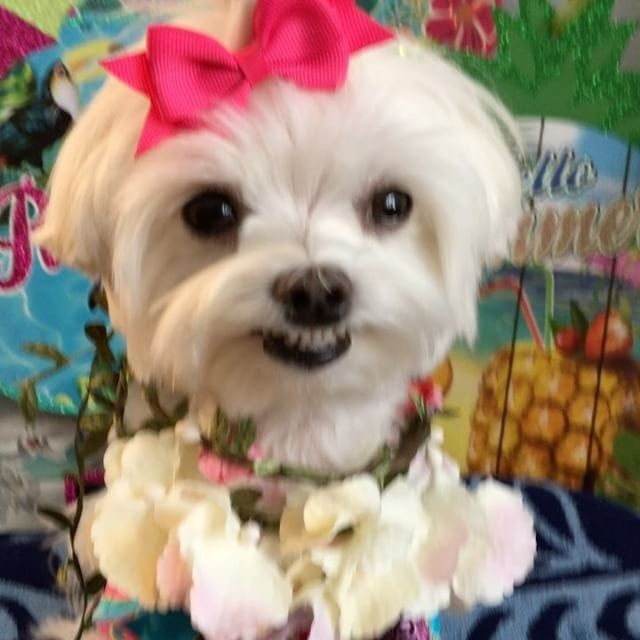 I Wonder If She Smiles All The Time So Cute Follow Maltese