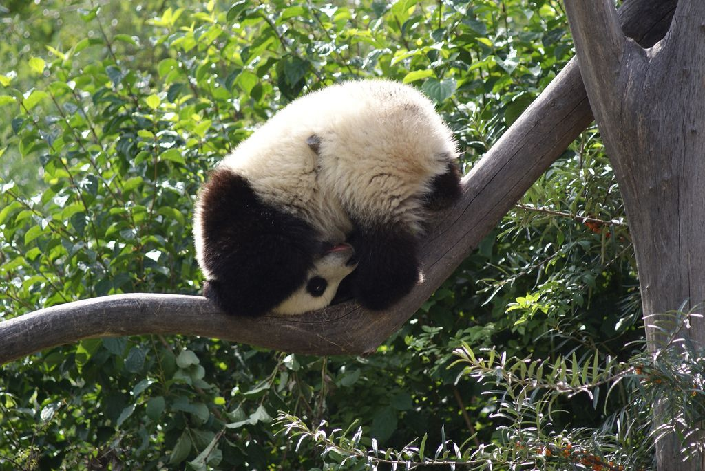 Fu Long Turning A Somersault In The Tree Tops Animals Beautiful Panda Funny Panda Love