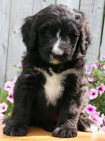 Cute And Love Saying The Name Bernadoodle Super Cute Puppies Cute Dogs Crazy Dog Lady