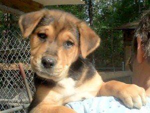 Adopt Snickers On Petfinder Shepherd Dog Mix German Shepherd