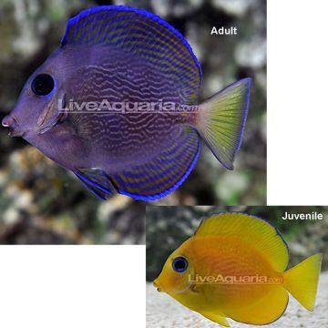 Blue Caribbean Tang Saltwater Aquarium Fish Fish Marine Aquarium