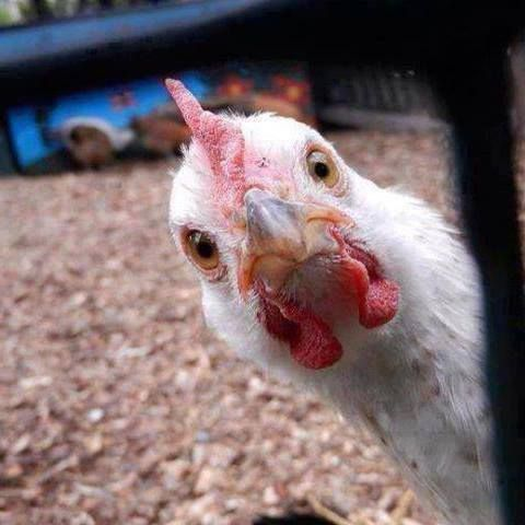 Jajaja Funny Chicken Pictures Chicken Humor Chicken Pictures