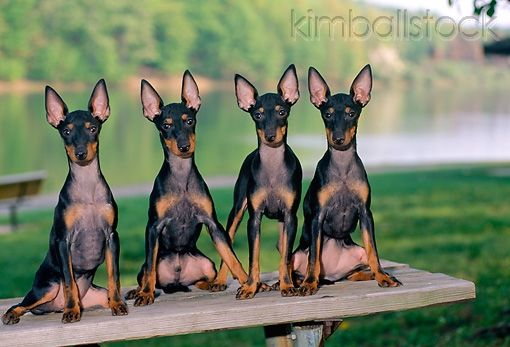 Manchester Terrier English Toy Terrier Black And Tan Terrier Dogs Puppy English Toy Terrier Toy Manchester Terrier Manchester Terrier
