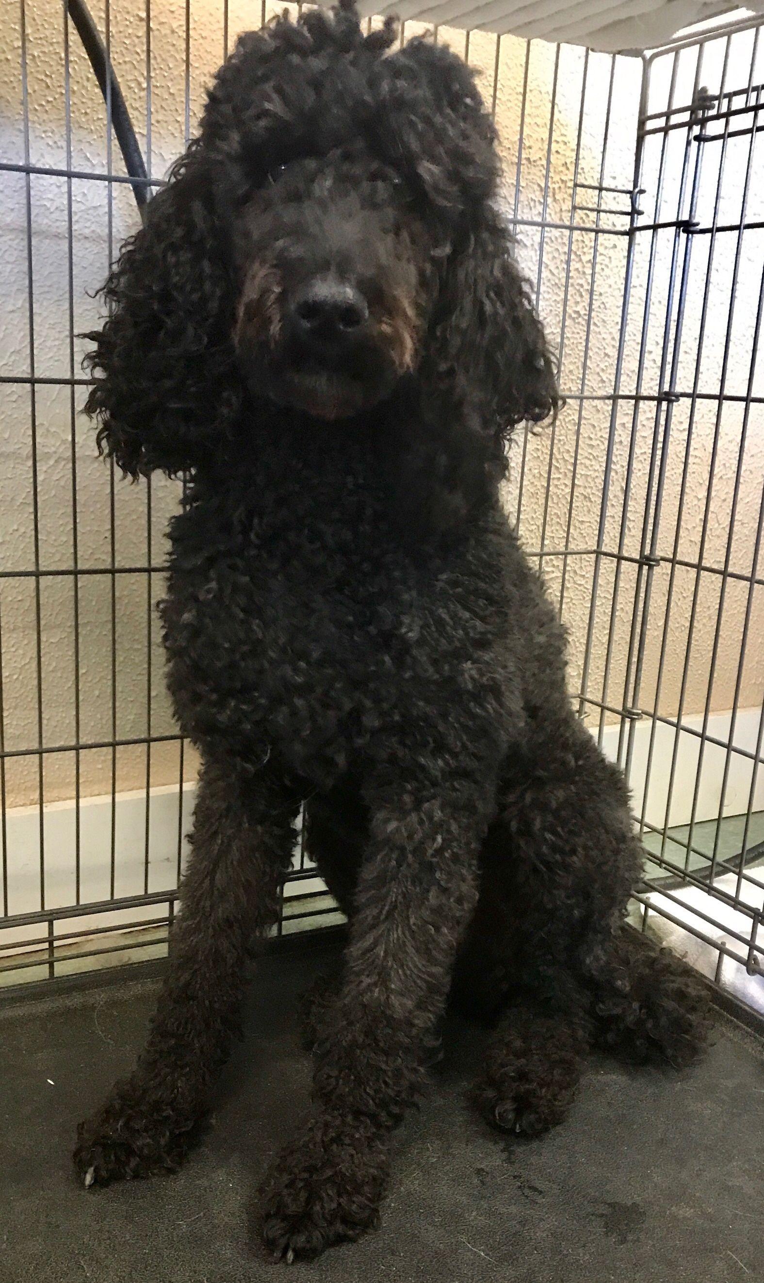 Poodle Standard Dog For Adoption In Pottstown Pa Adn 729034 On