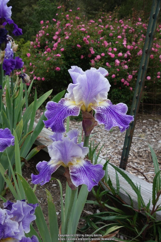 Photo Of Tall Bearded Iris Iris I I Stutter Uploaded By Henhouse Bearded Iris Iris Prairie Garden