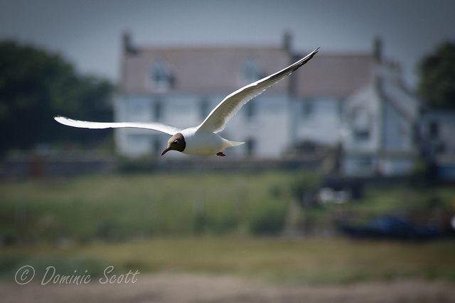 Seagull Holy Island Northumberland England   Flickr - Photo Sharing! Dominic Scott Photography