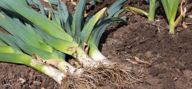 сколько всходит лук порей из семян