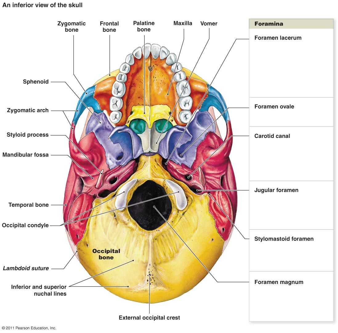 Unlabeled Skull Diagram Inferior View Single Doorbell Wiring Image Result For Blank Anatomy Physiology I