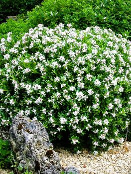 Kleims Hardy Gardenia The Tree Center Evergreen Shrubs August Beauty Gardenia Shrubs