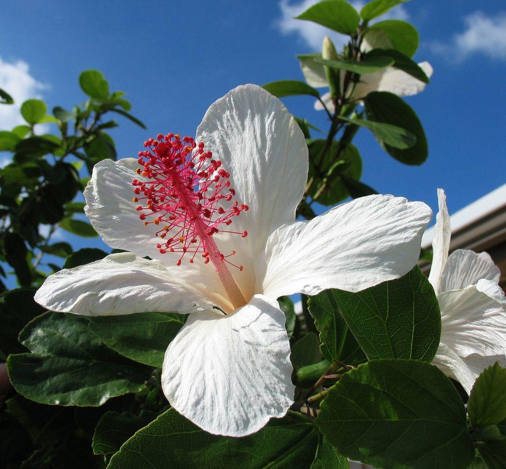 Hibiscus waimeae subsp. waimeae Hawaii flowers, Hibiscus