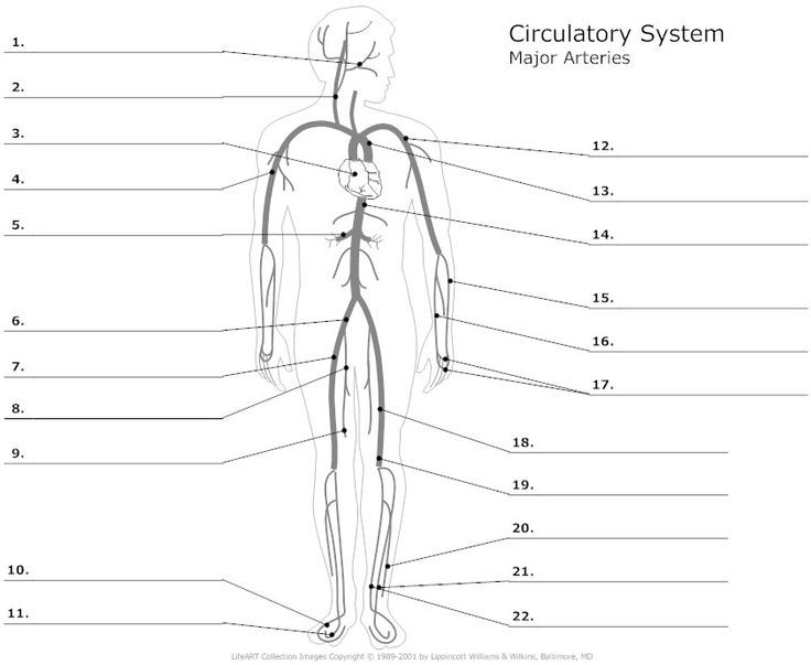 Image result for artery and vein labeling worksheet