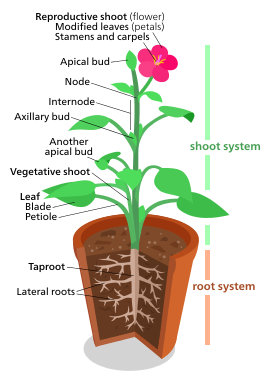 A Diagram Of A Typical Eudicot The Most Common Type Of Plant Three Fifths Of All Plant Species Plants Root System Parts Of A Plant