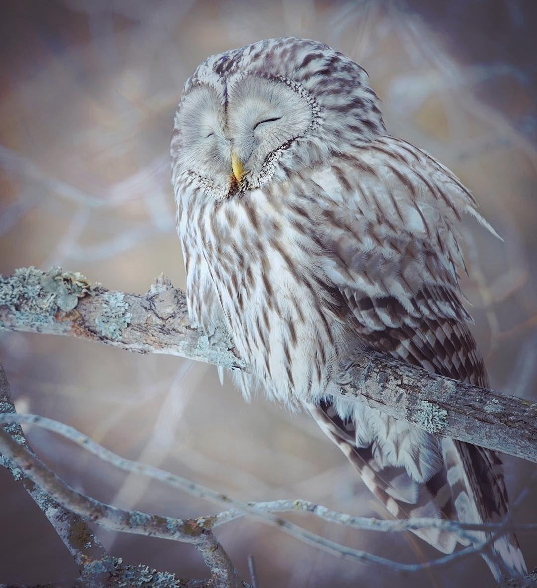 Ural owl (strix uralensis) sleeping on a branch. Finland  #marvelshots #photoarena_nature #splendid_animals #feather_perfection #WildGeography #GlobalDaily #bella_shots #elegantanimals #animalelite #exklusive_nature #shotaward #wonderfulworld #amazing_picturez #igscwildlife #animalsmood #exelent_nature #exclusive_animals #planet_of_animals #perfection_nature #pro_nature #greatshots #greatphotos #masters #master_shots #magic_shots #nature_of_our_world #igscwildlife #IgAnimal_Snapsk…