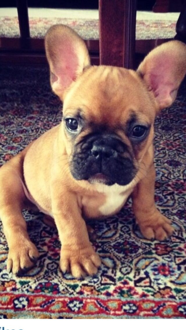 Red fawn french bulldog....ANOTHER ONE!!