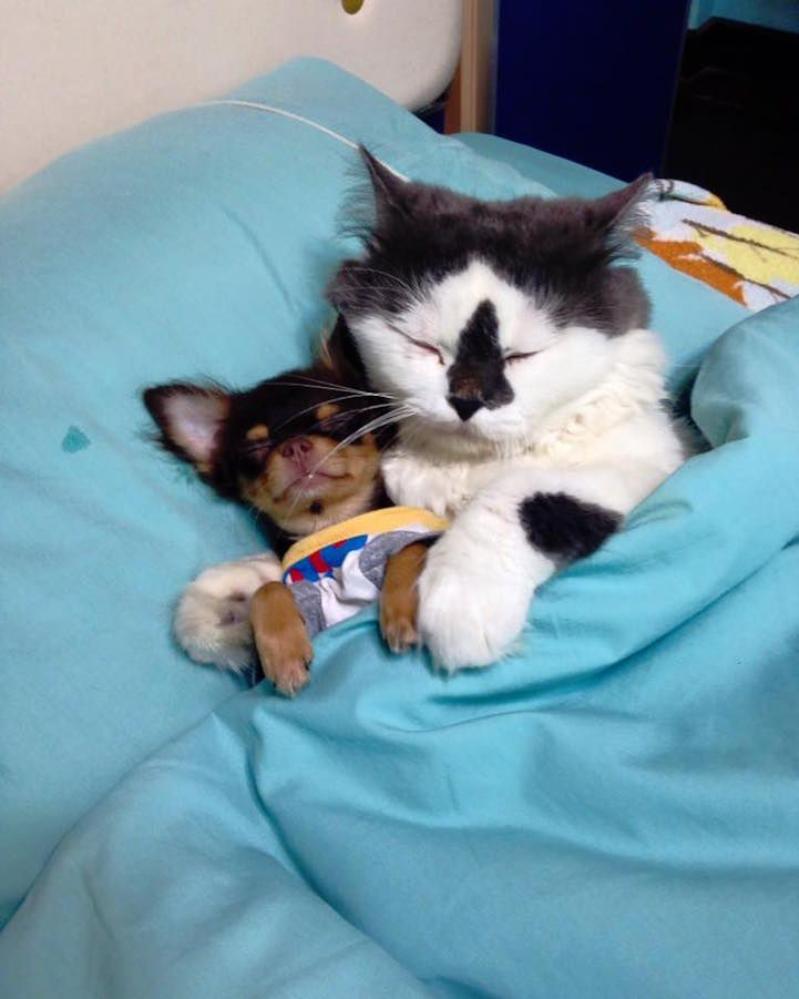 Cat Protects And Comforts Pack Of Chihuahuas With Cuddles Cute