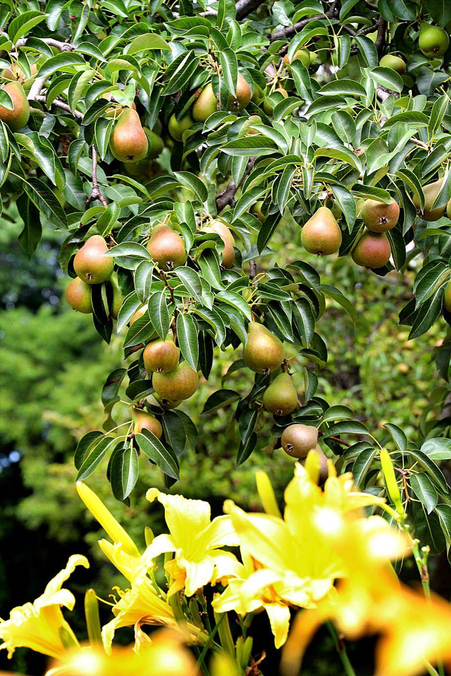 Pears at The Manor #fruittress #themanor #themanorgarden #flowers #beautiful #trees #fruit #WestOrangeNJ #pears
