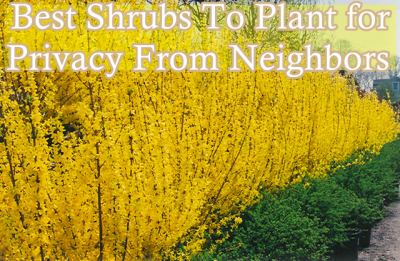 Best Shrubs To Plant For Privacy From Neighbors Plants