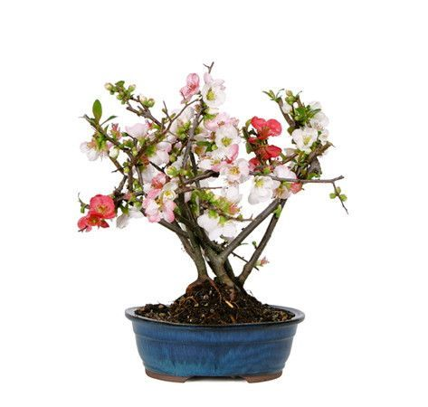 The Japanese Flowering Quince Bonsai Trees are among the favorites of those that wish to great spring's warm days with a touch a color and festivities. During the spring, the plump buds will begin to open to unveil vivid red, pink and white flowers, all on the same tree. These beautiful flowers will whisk you away with the spring. Add this to you home decor or simply for spring or fall decorations, and you will not regret it!