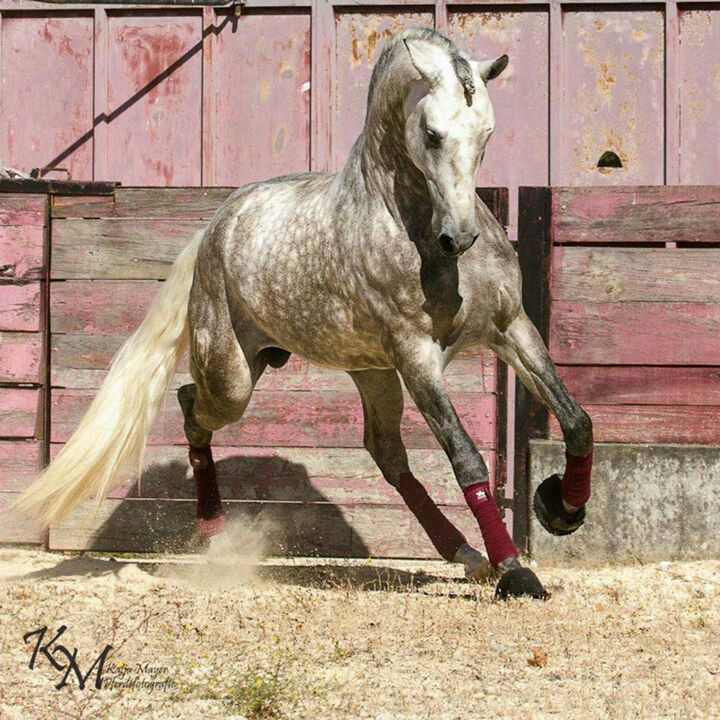 dapple grey horse running with pretty tail flowing
