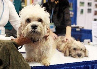 My Dream Dog A Dandie Dinmont Dandie Dinmont Terrier Dinmont Terrier Dandie