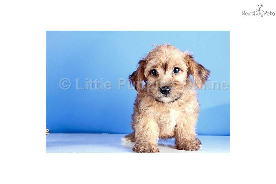 Darcy Little Puppies Online Yorkie Poo Puppies Teacup Puppies