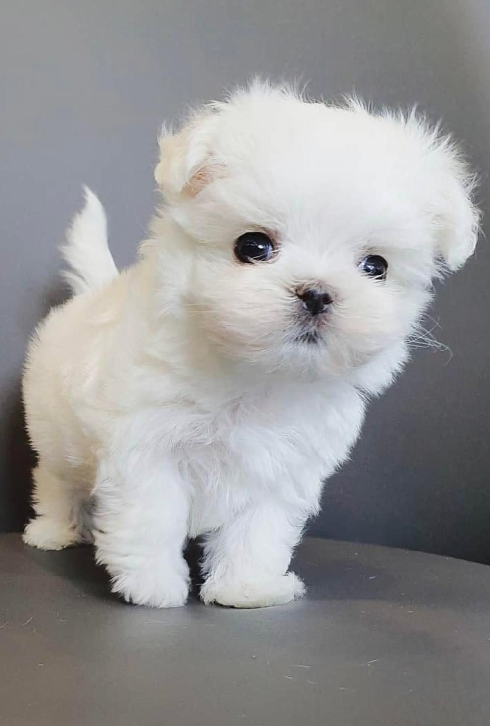 Available Cheap Mini Baby Maltese Puppies For Sale In 2020 Maltese Puppy Maltese Puppies For Sale Baby Maltese