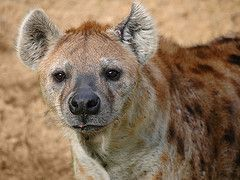 Reputed to be cowardly and timid, the hyena can be bold and dangerous, attacking animals and humans.
