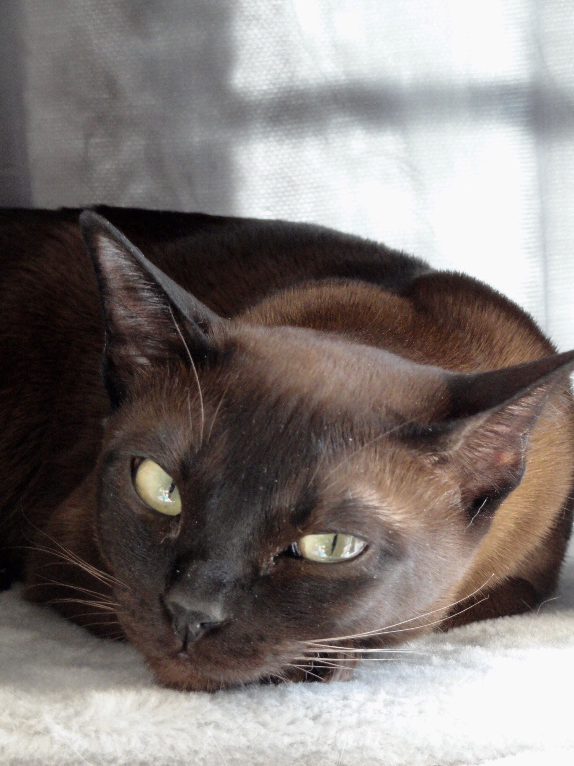 Luna Natural Solid Tonkinese Tonkinese Cat Tabby Cat Names
