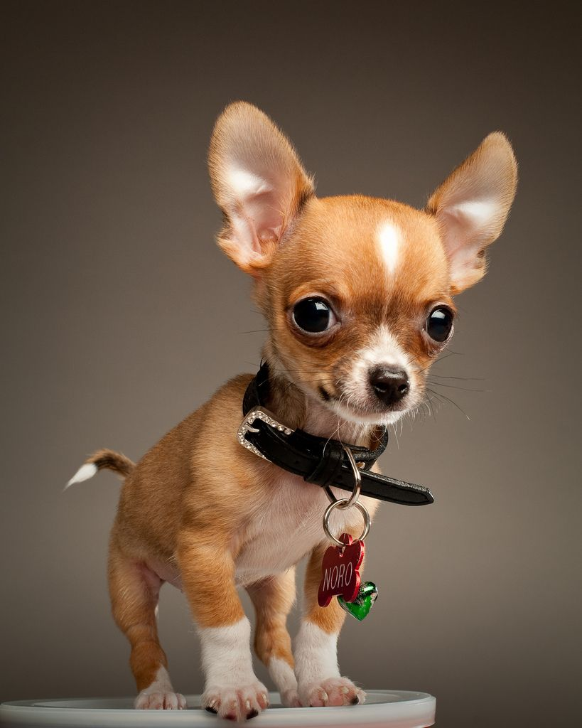 Noro The Chihuahua Cute Animals Cute Dogs Baby Animals