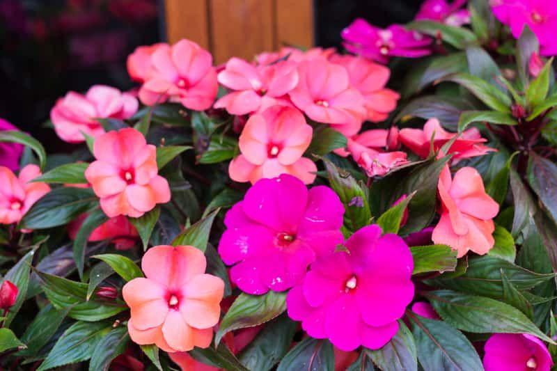 Niecierpek Nowogwinejski Uprawa I Pielegnacja Impatiens Flowers Shade Annuals Plants