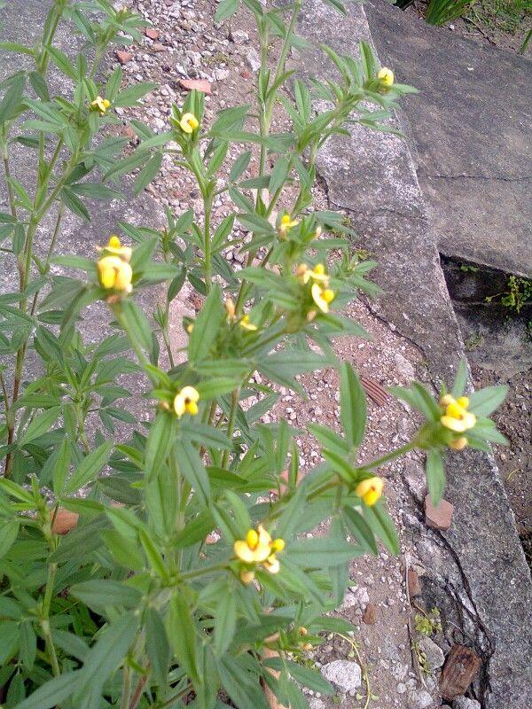 Sara said plantas e cactos 2  -  mini orquídia do campo