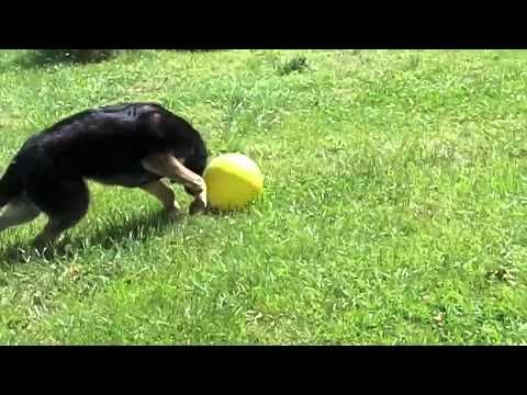 German Shepherd Puppy Soccer Star Playing With His Varsity