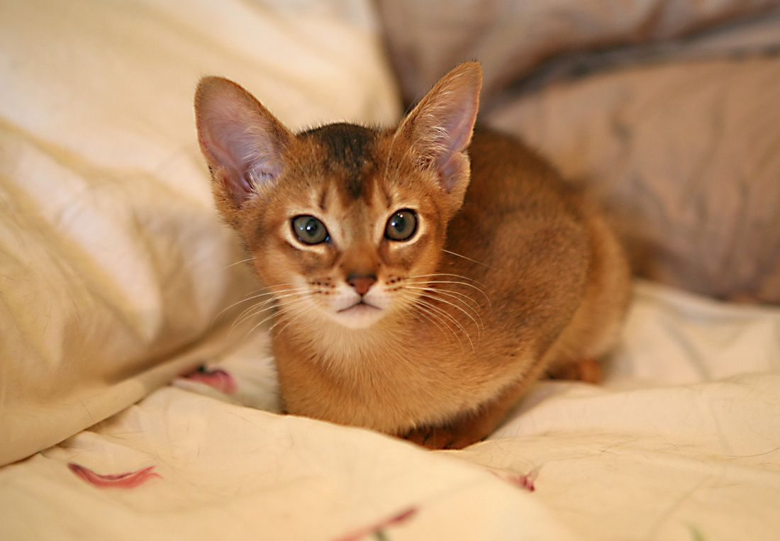 Cat Breeds Similar To Abyssinian