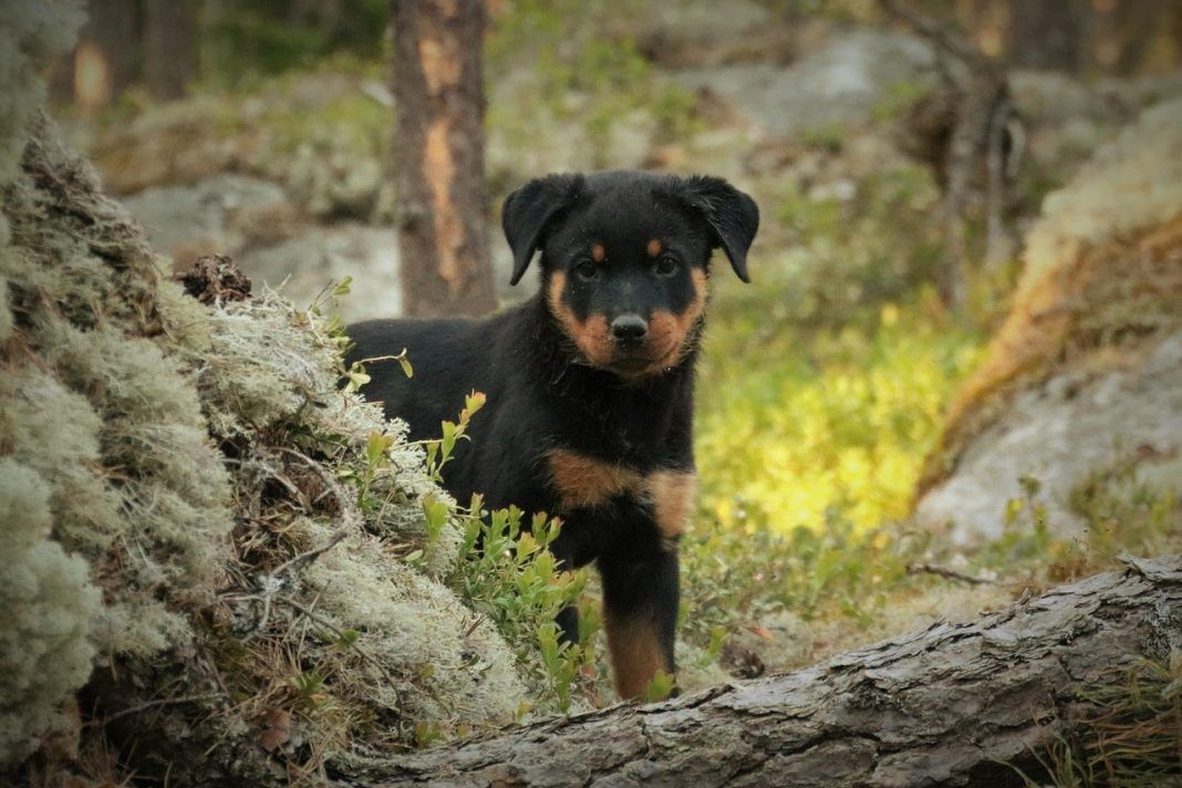 Top Methods On How Do You Potty Train A Puppy Rottweiler In 2020 Rottweiler Puppies Rottweiler Rottweiler Dog
