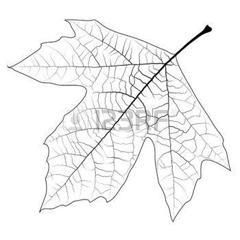 dibujos de hojas de otoño: Elemento de diseño - alta hoja sicomoro detallada, se puede pintar en cualquier color. EPS10 vector.