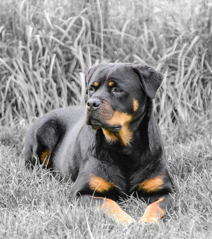 Rottweiler Contrast Color Dog Rottweiler Puppies Rottweiler
