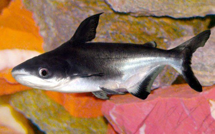 Pangasius Sutchi Ryba Akvarium