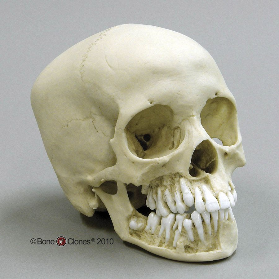 12-year-old Human Child Skull Replica, with Dentition Exposed ...