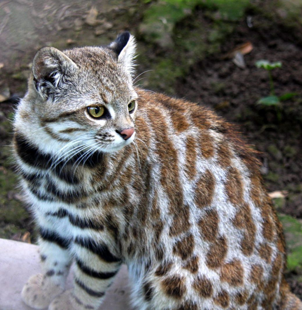 Pampas Cat (Leopardus Pajeros) Is A Small Cat Native To