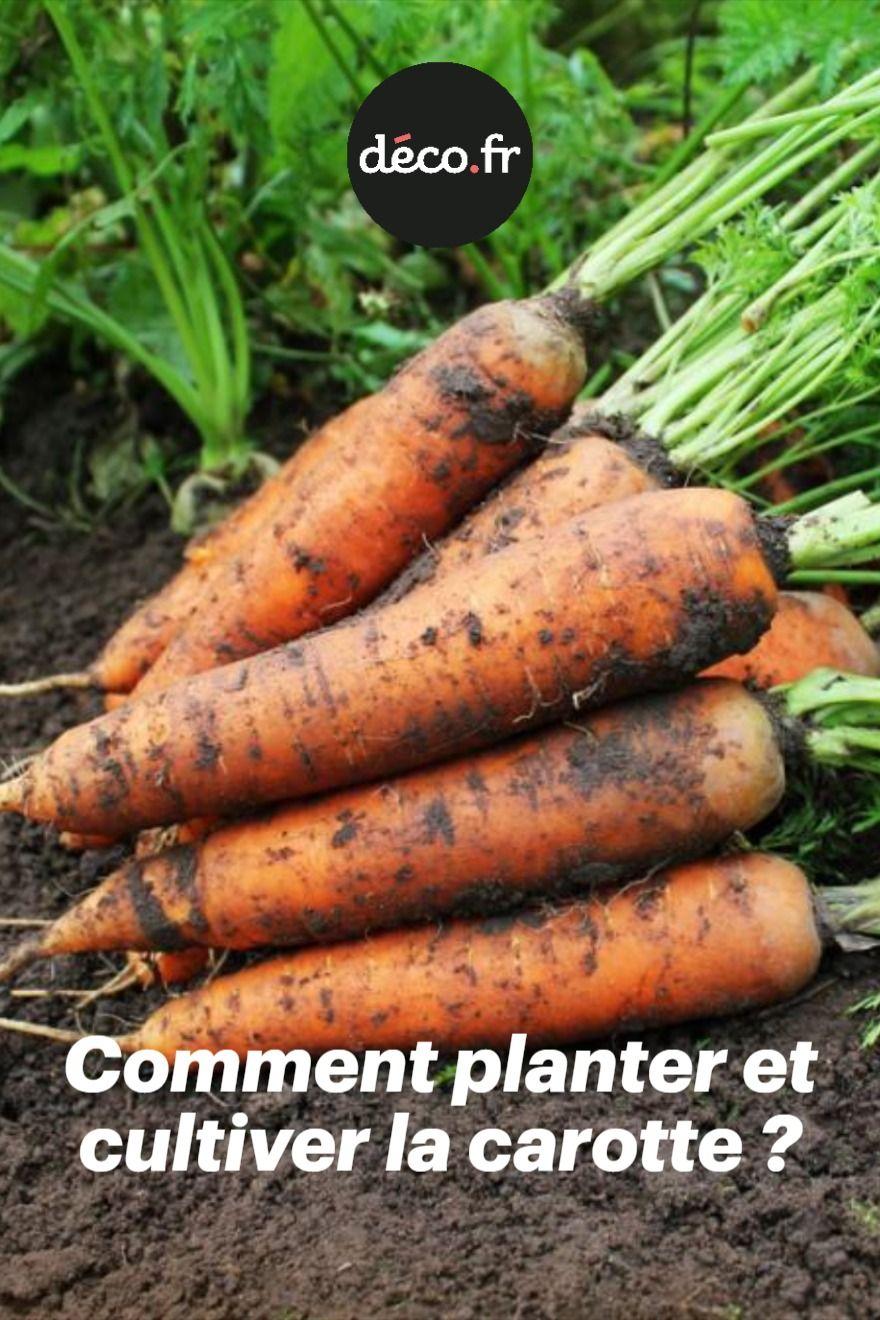Comment Planter Des Asperges facile à entretenir, la carotte fait partie de ces légumes