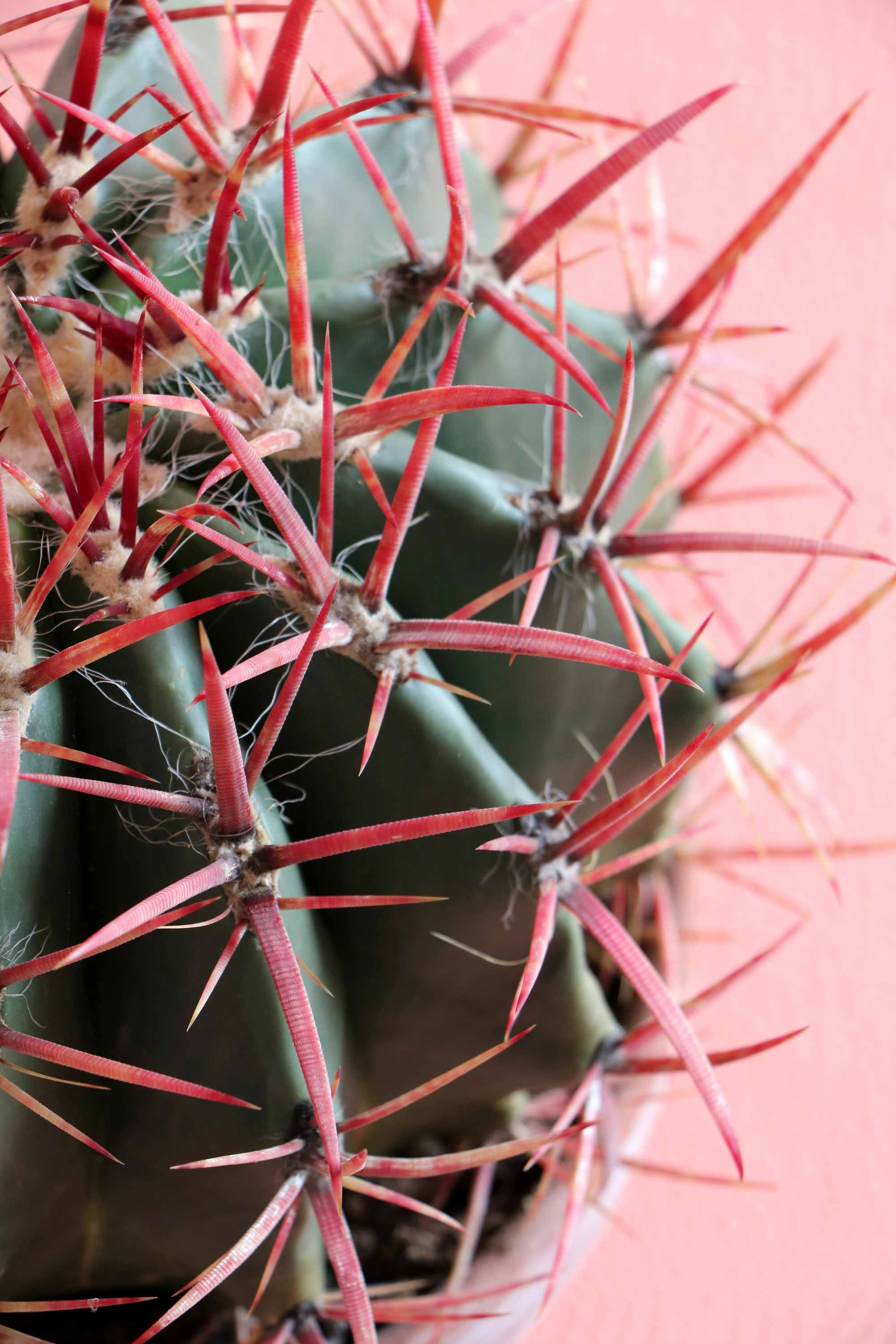MY ATTIC Voor Vtwonen / Plants On Pink / Ferocactus