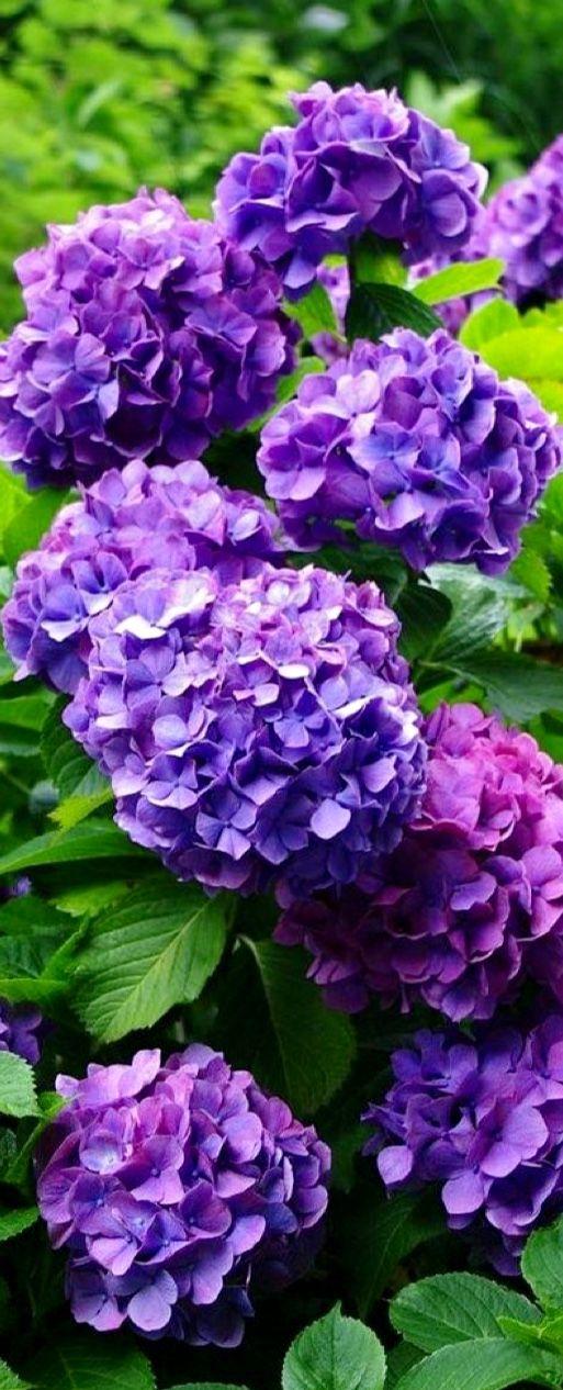 purple hydrangea Flowering shrubs