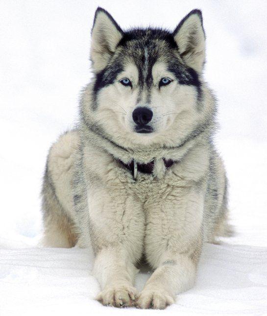 10 Cool Facts About Siberian Huskies Siberian Husky Dog