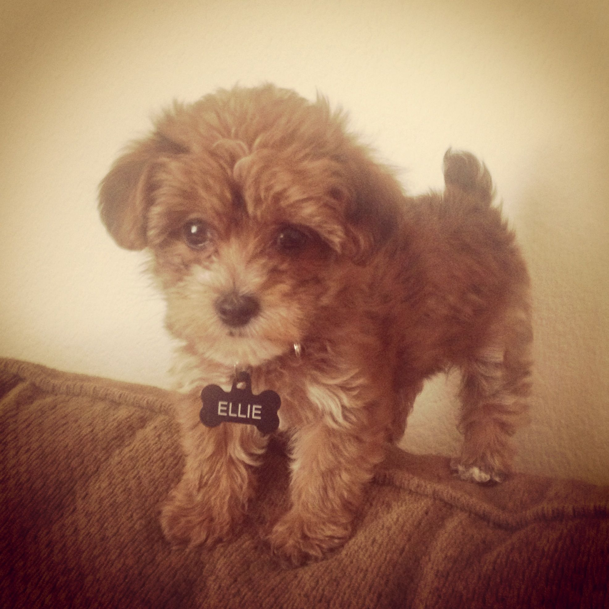 chocolate teacup maltipoo - photo #34
