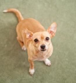 Jack Rus Terrier Chihuahua Mix Is A Lively Bundle Of