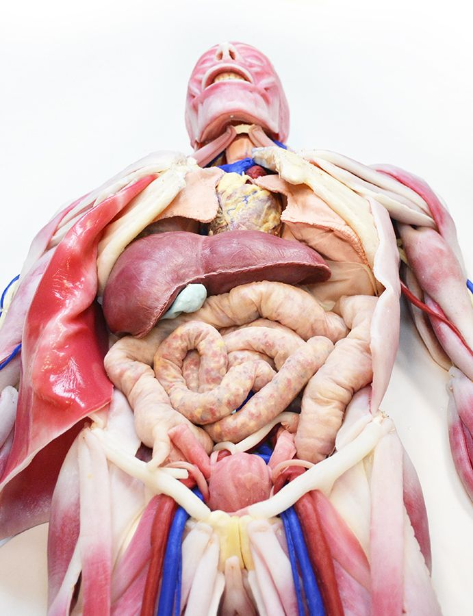 The SynDaver Anatomy Model is an education-grade synthetic human ...