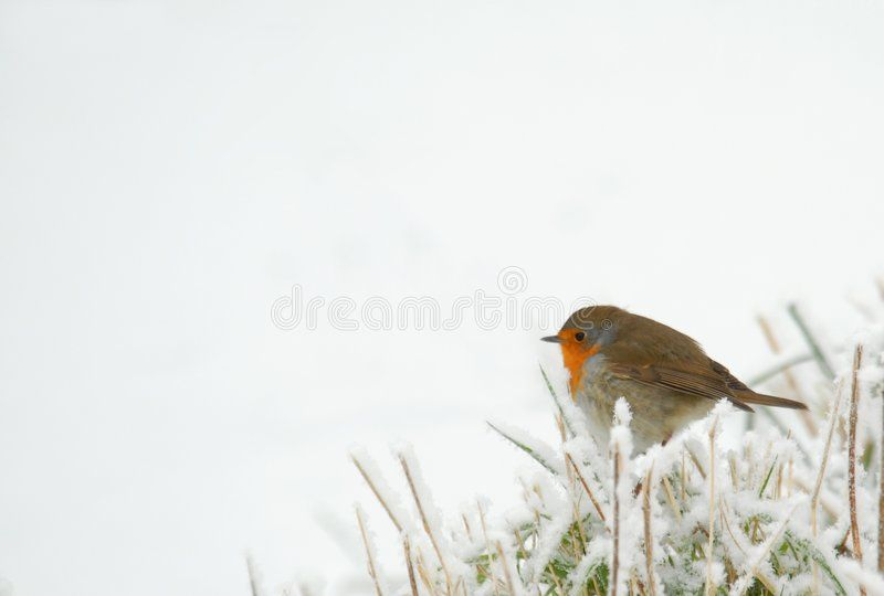 Robin in frozen grass. Isolated over white ,