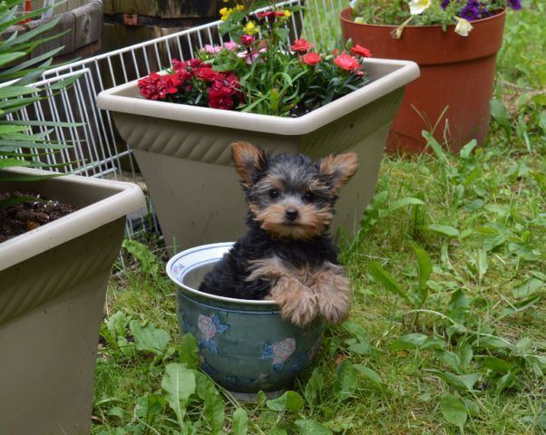 2 Male Yorkie Pups dogs, puppies for rehoming Kelowna